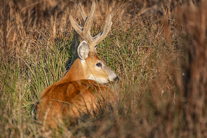 Marsh deer with antlers in the long reeds of Iberá National Park