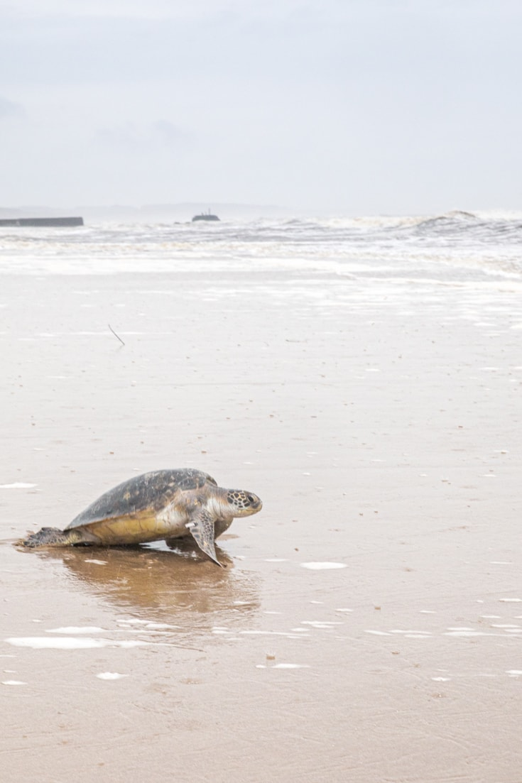 A turtle returns to the ocean from the beach