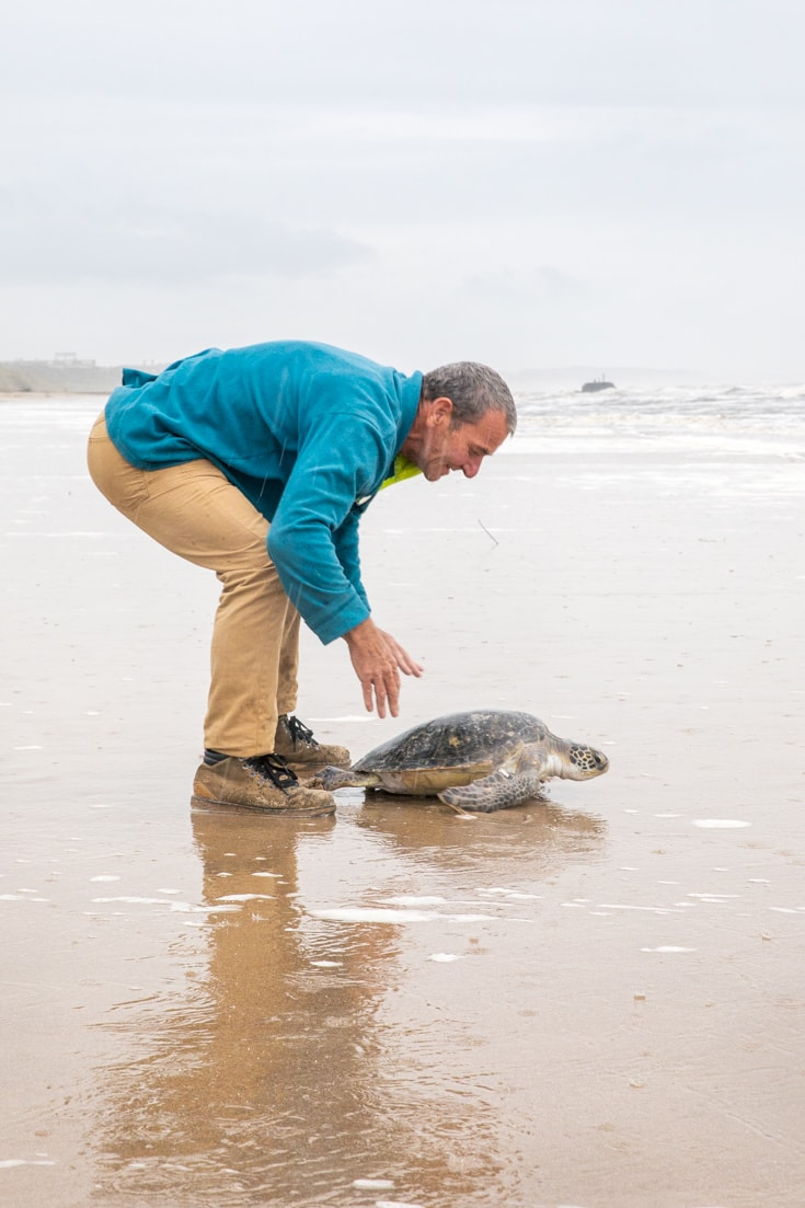 Releasing green turtle back into the wild