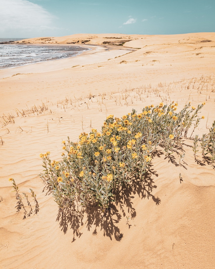 yellow flowers in the sand dunes beside the shore at Cabo Polonio