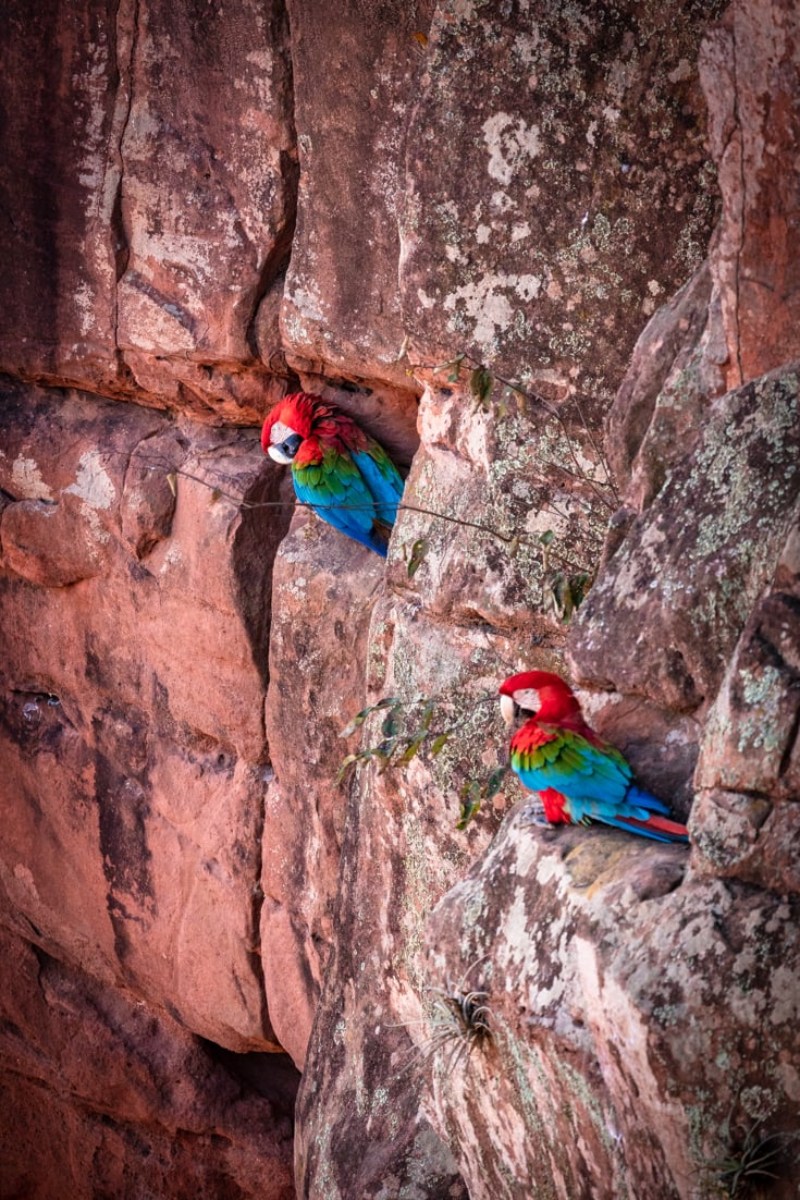 2 green and red macaws sitting in their nests in a hole in a red sandstone wall in Buraco das Araras