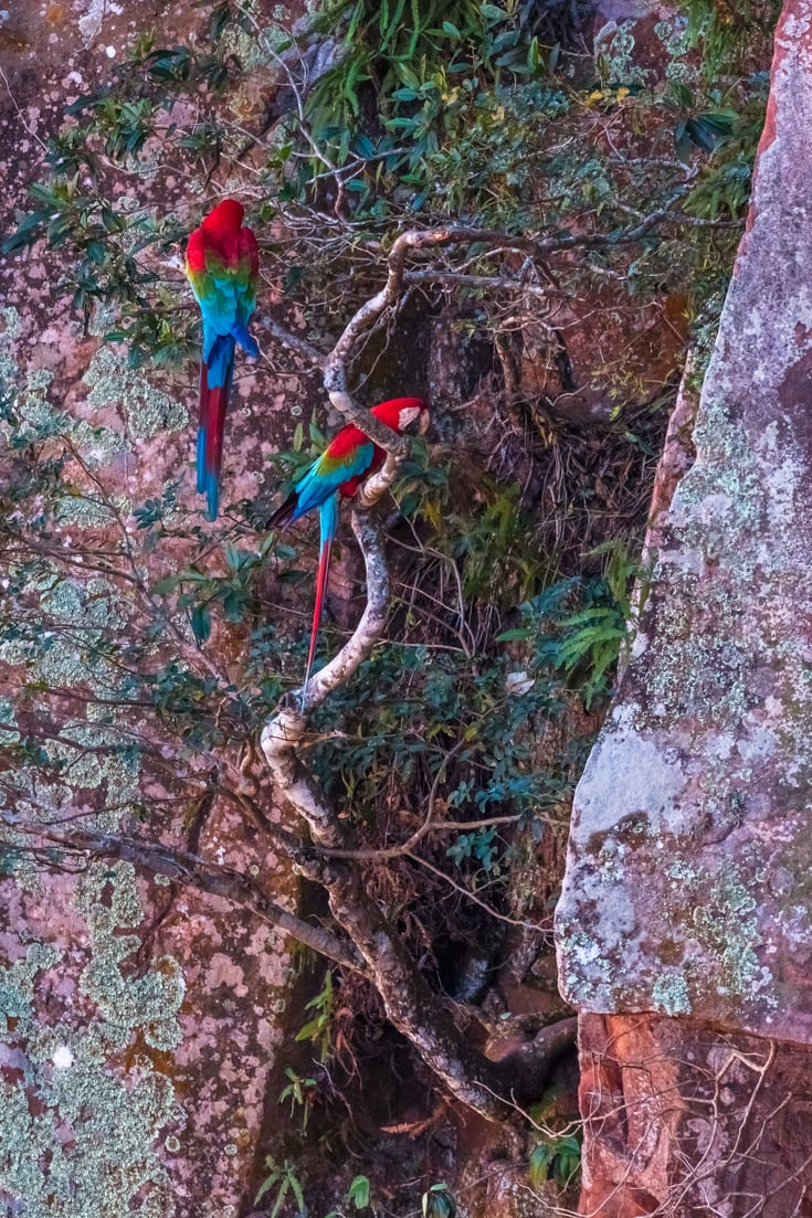 2 red and green macaws perched on a brach on the steep walls of a sinkhole in the southern pantanal