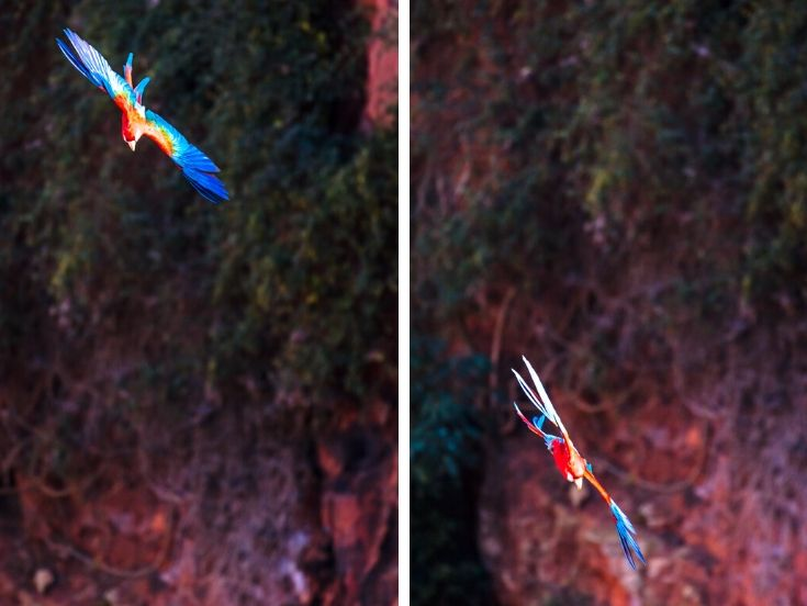 2 red & green macaws flying into the sinkhole