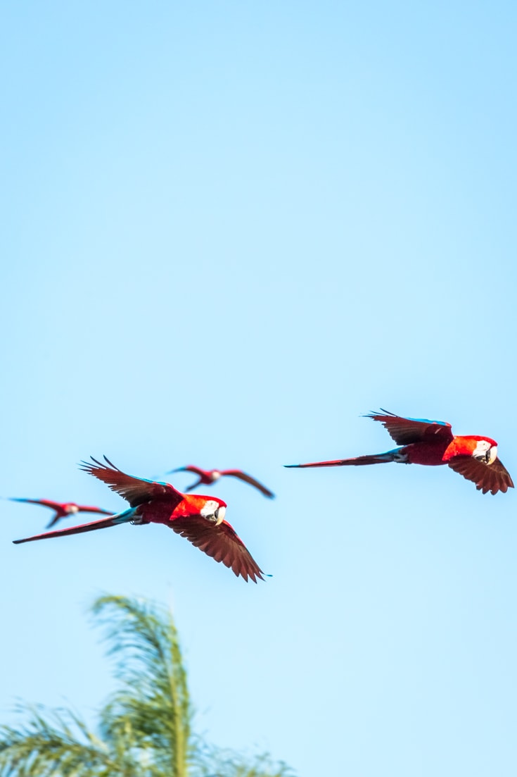 Macaws flying over Buraco das Araras sinkhole