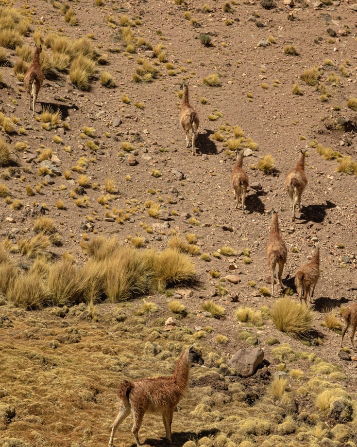 Guanaco and vicuna on the mountain pass on Ruta 40