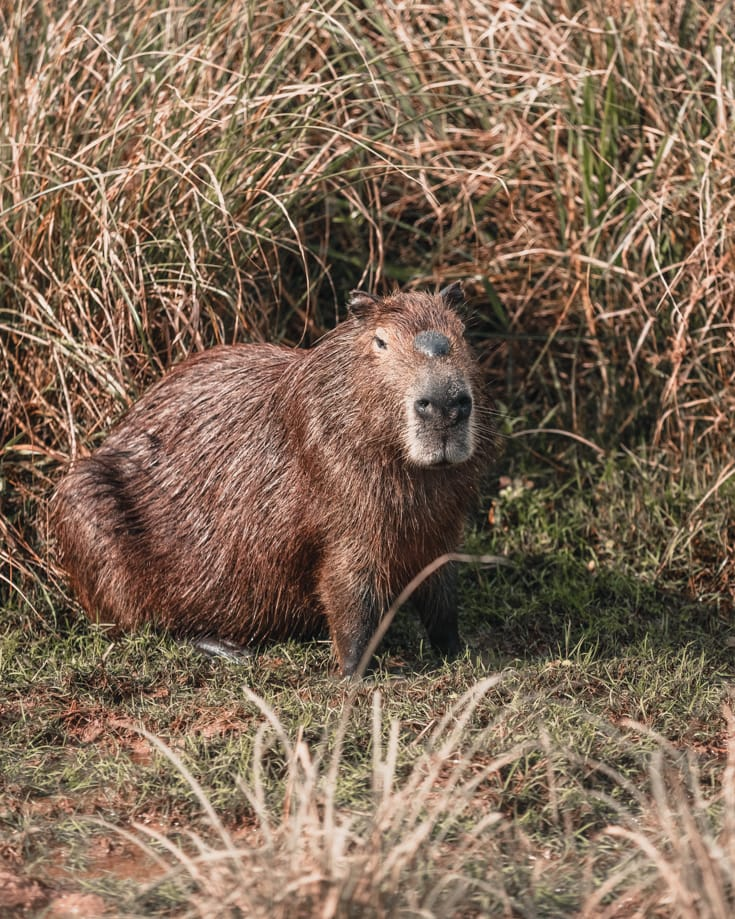 A capybara at the side of the road in Ibera National Park in northeast Argentina
