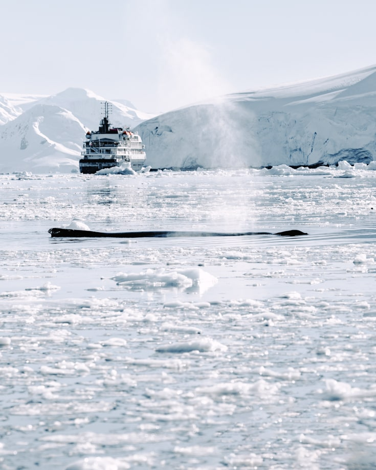 A humpback whale surfacing to breathe infront of a polar cruise ship in Antarctica