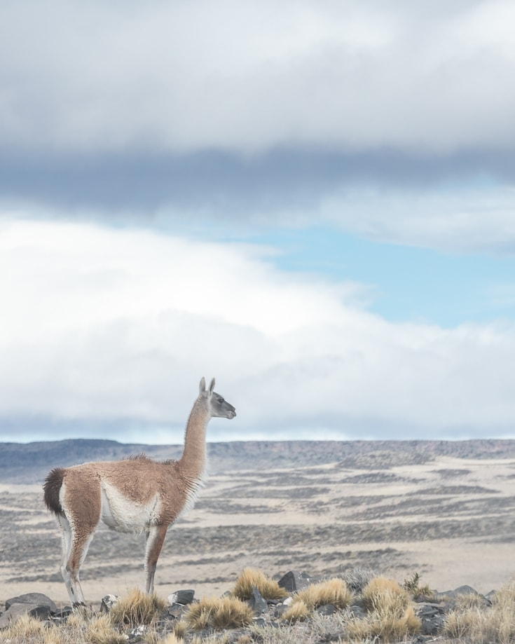 guanaco gazing across the patagonian landscape