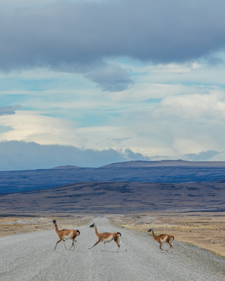 guanaco running across a road in patagonia