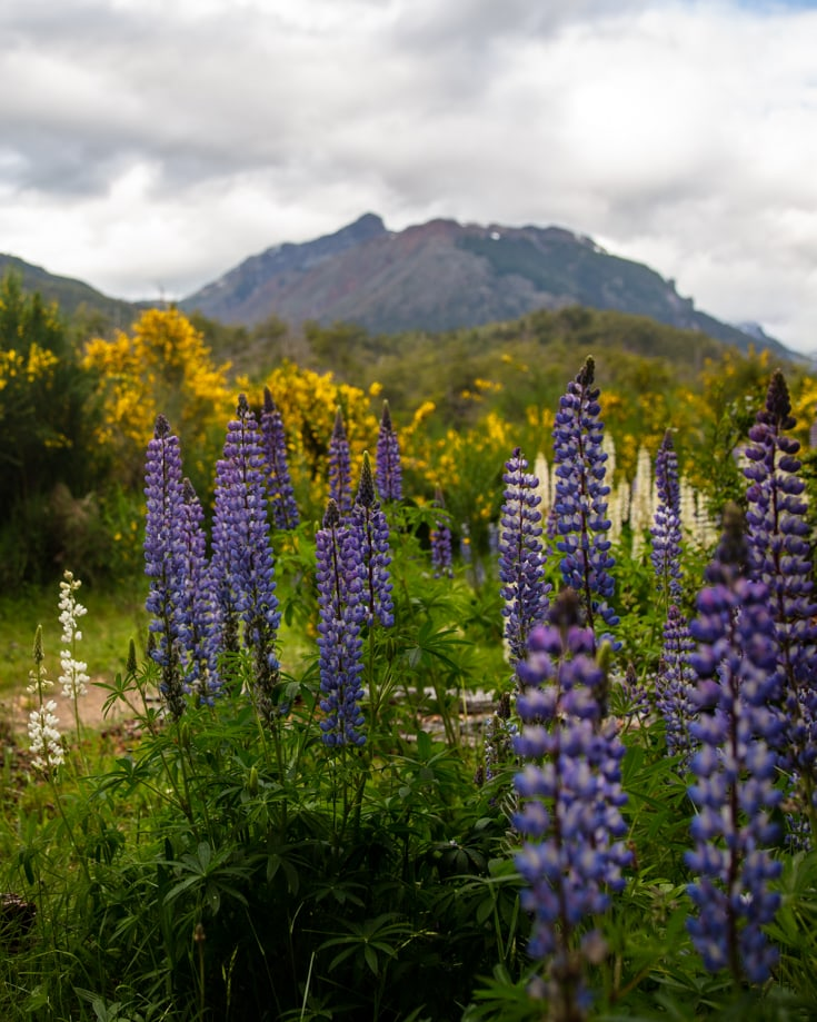 Lupins and yellow broom in summer in Patagonia