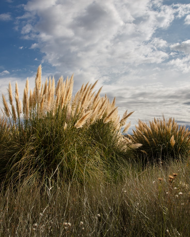 Pampas grass in Patagonia's Pampas region