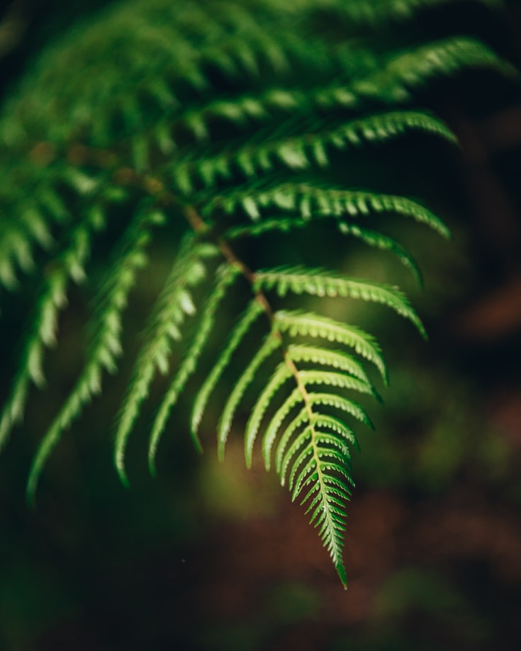 The tip of a fern leaf