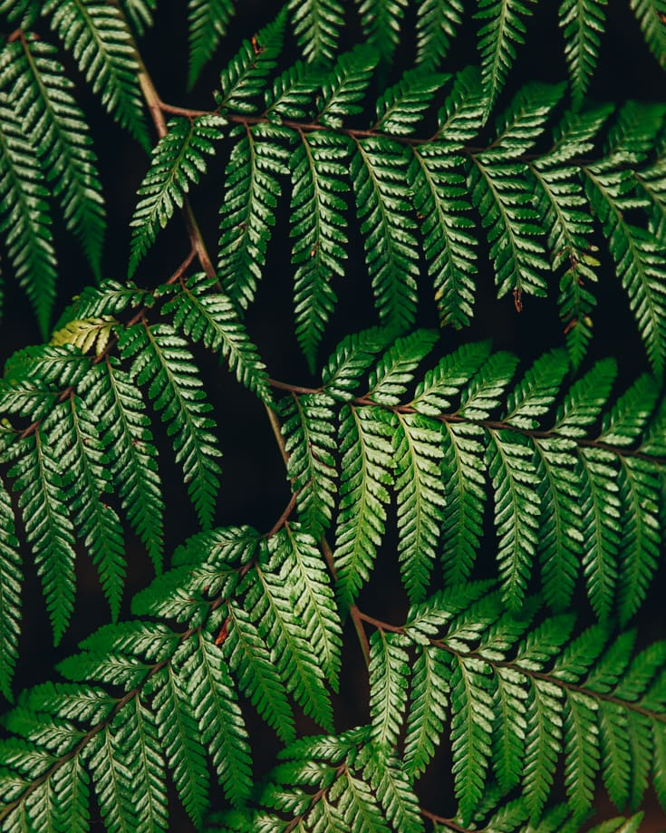 A close up of a fern leaf in Alerce Andino National Park