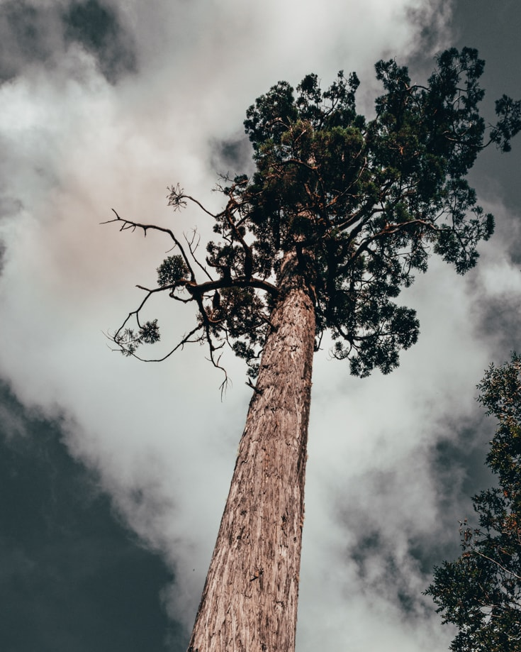 A tall Alerce tree in Alerce Andino National Park