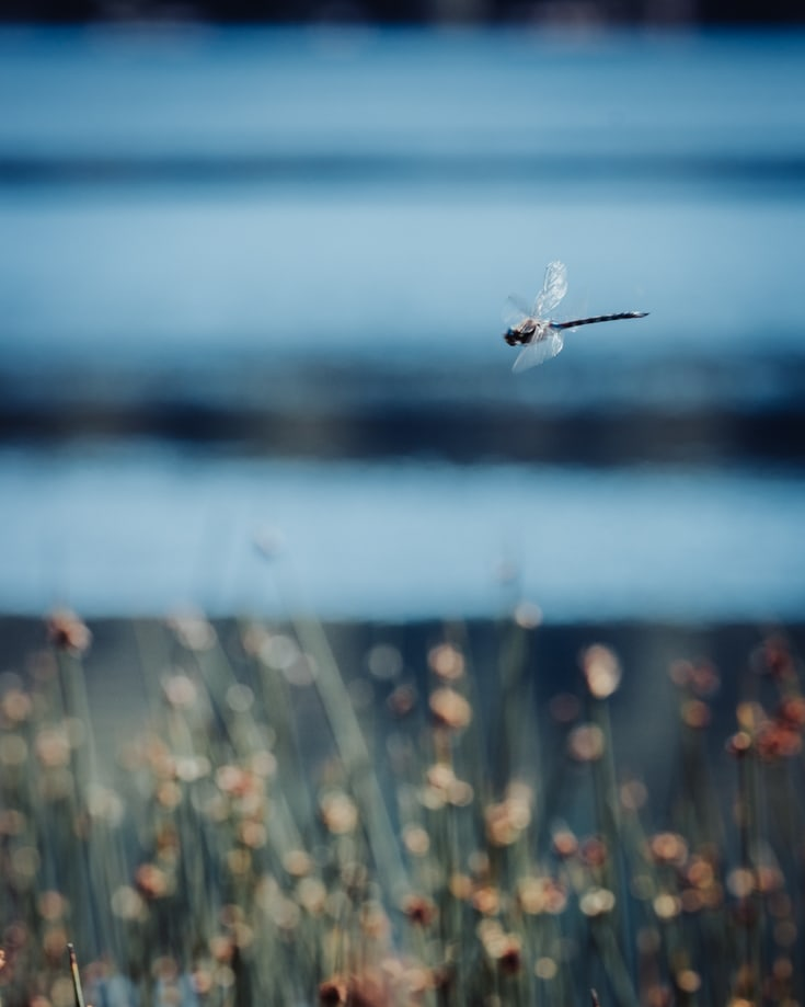 A dragonfly hovering over reeds beside a lake