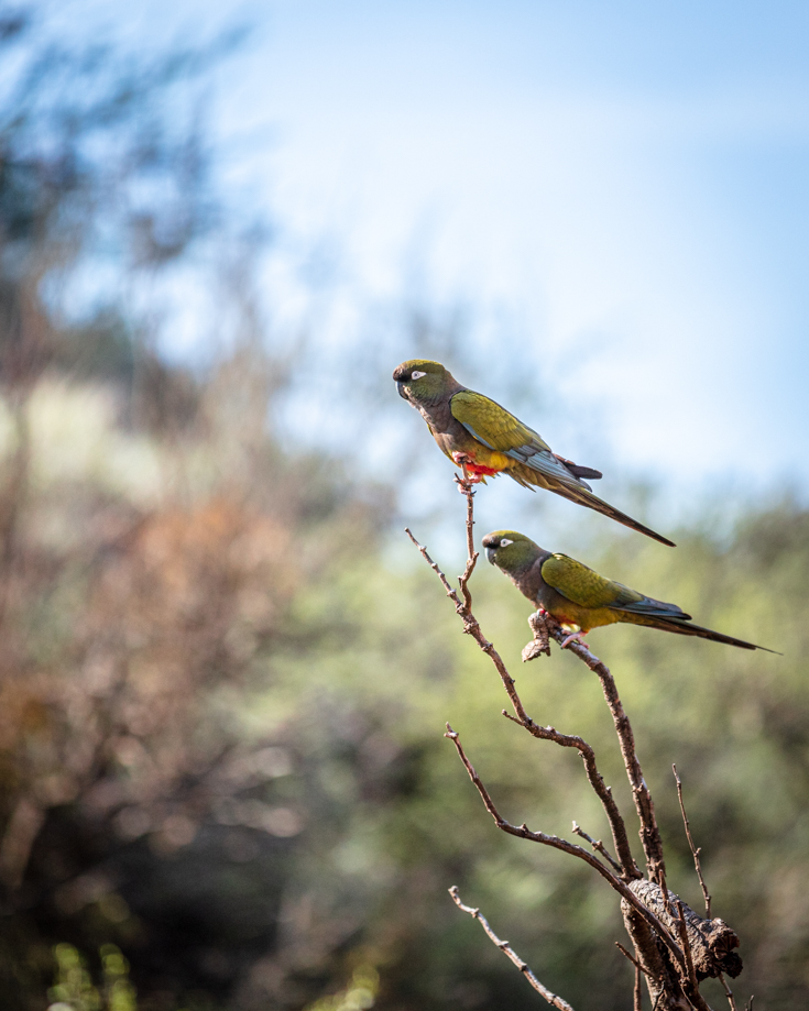Parrots in Sierra de las Quijadas