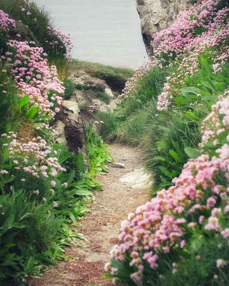 pink wild flowers lining a Cornish footpath
