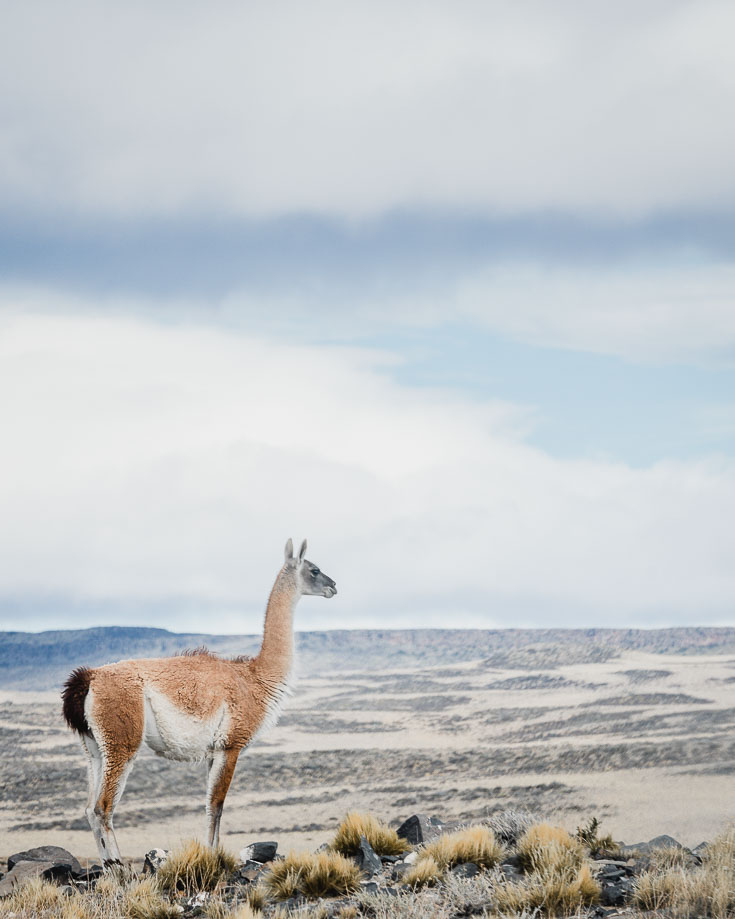 a guanaco looking out over the Patagonian Steppe