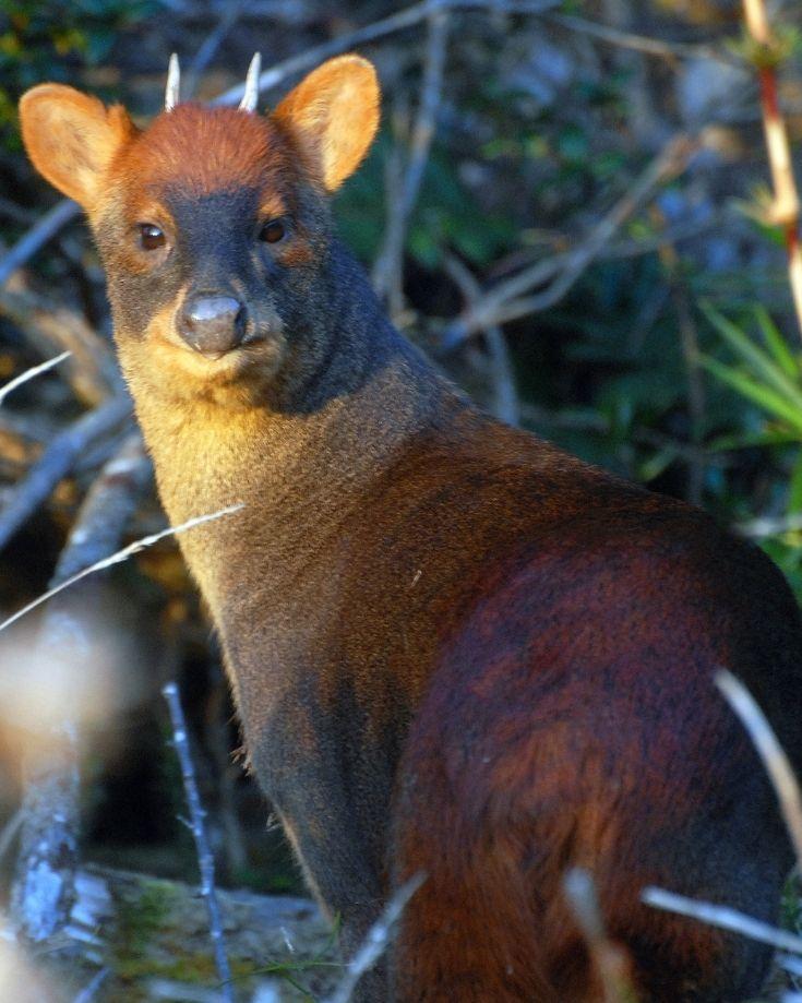 A pudu deer in Patagonia