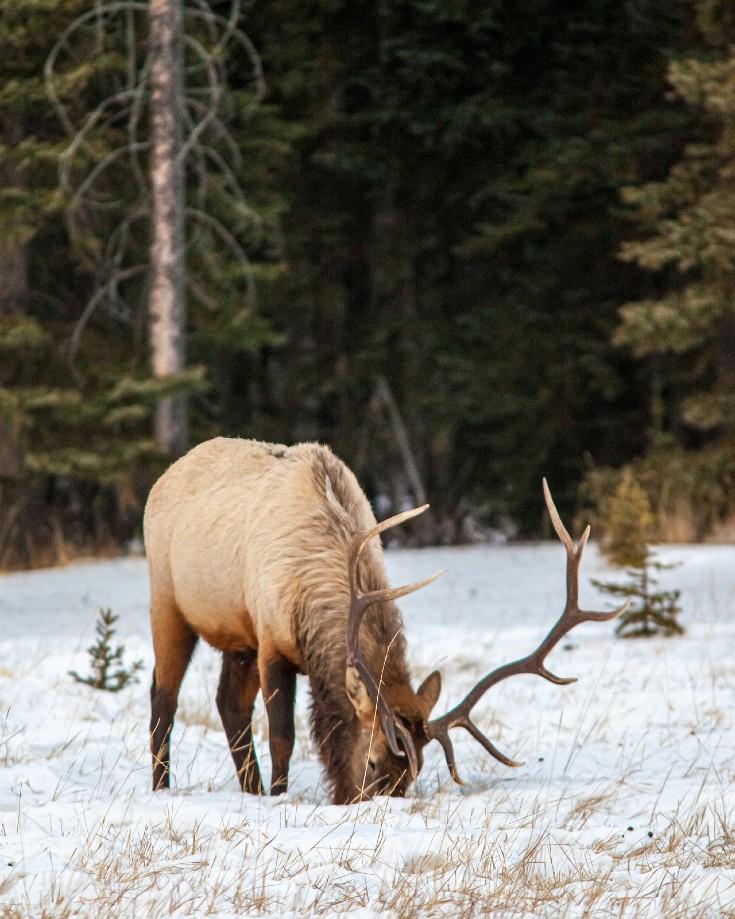 Elk at Rampart Creek