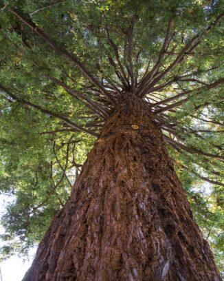 Redwood Tree, Ancient Redwood RV Park